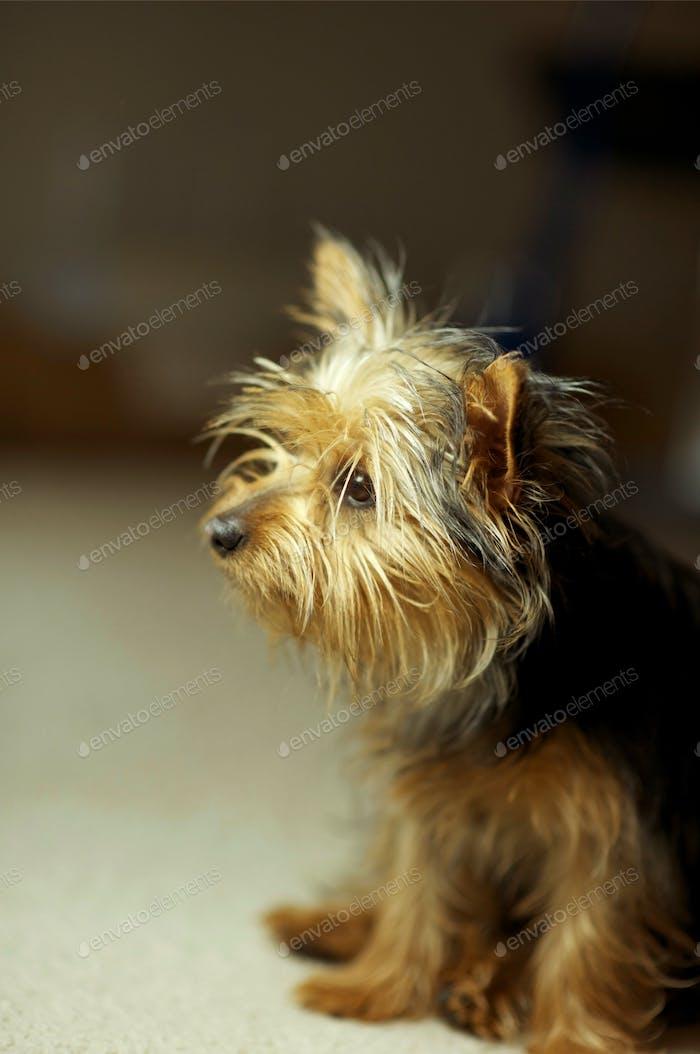 Welpen Silky Terrier Hund