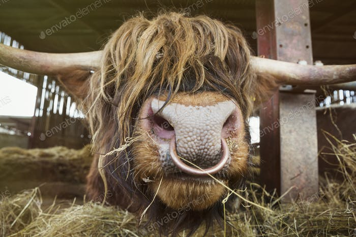 Close up of brown Scottish Highland bull with long wavy coat and nose ring in a barn.
