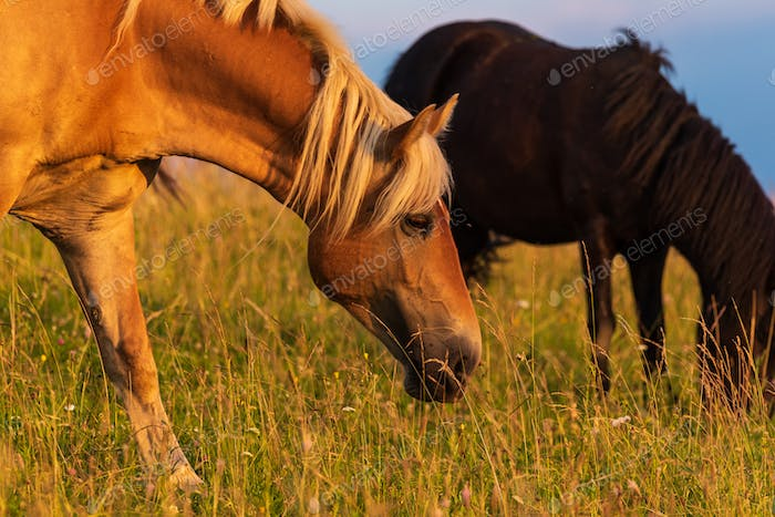 Beautiful horses grazing in lush green pasture outdoors summer on green field
