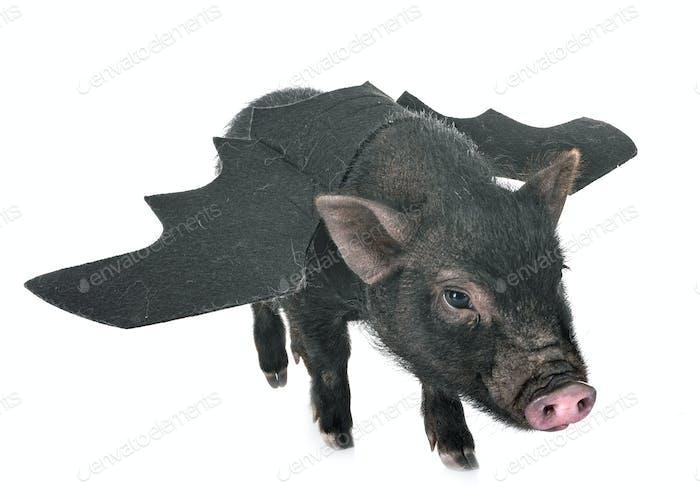 bat vietnamese pig in studio