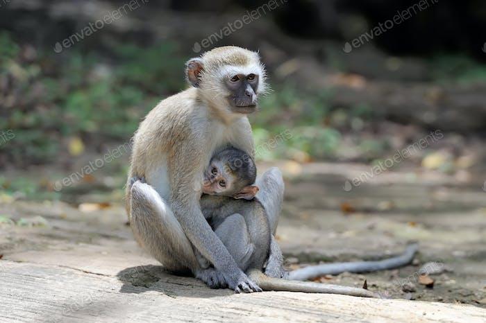 Two vervet monkey on a stone