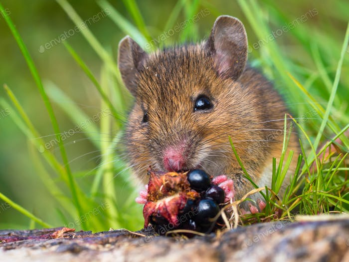 Wood mouse eating raspberry close up