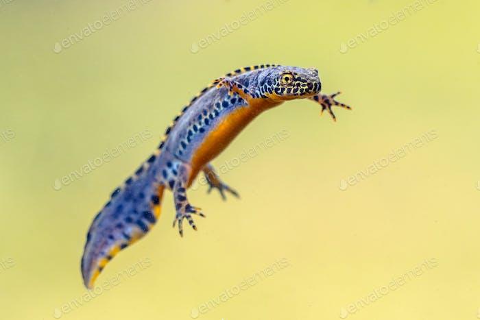 Alpine newt aquatic animal swimming in freshwater habitat