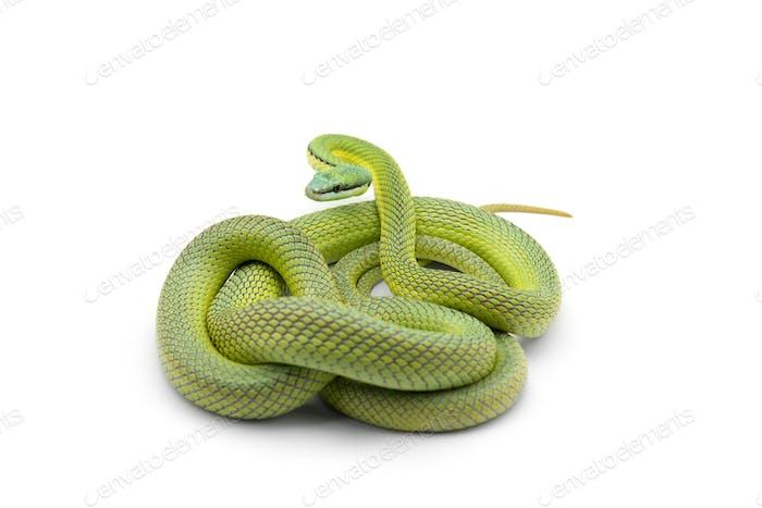 Baron's green racer snake isolated on white background