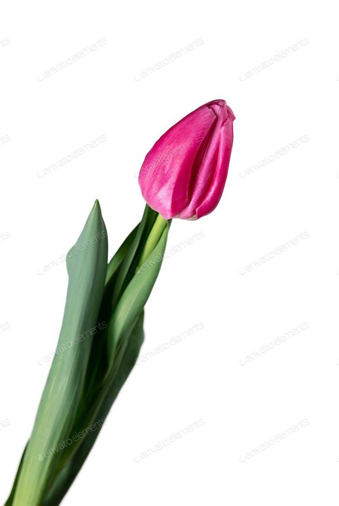 Nahaufnahme der schönen Tulpe isoliert auf weißem Hintergrund