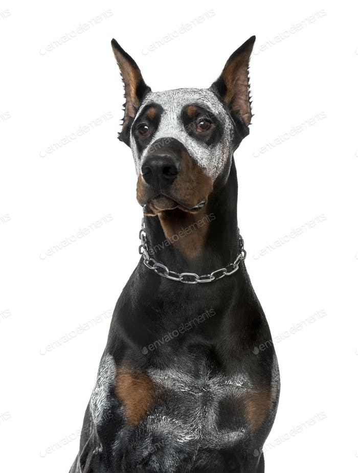 Close-up of disguised Doberman Pinscher, 8 months old , isolated on white