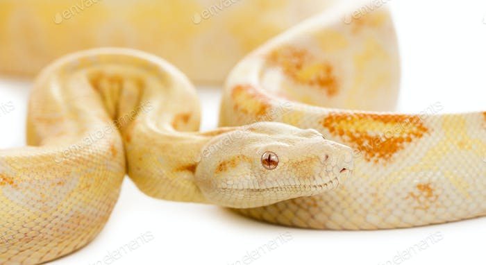 Close-up of an Albino royal python in front of a white background