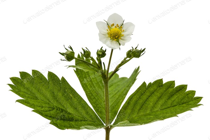 Flower of wild strawberries, Fragaria ananassa, isolated on whit