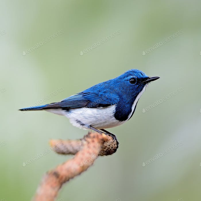 male Ultramarine Flycatcher