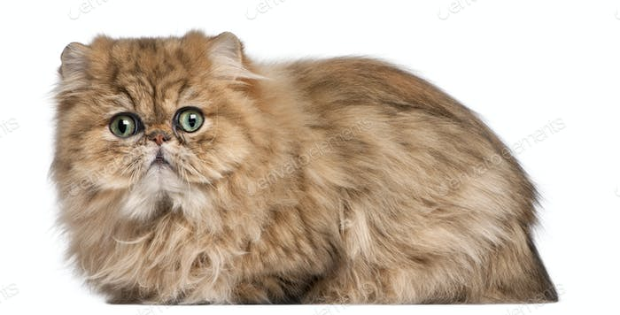 Persian kitten, 9 months old, in front of white background
