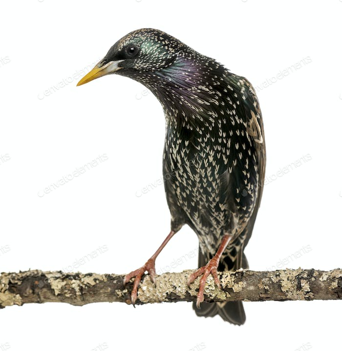 Common Starling perching on a branch, Sturnus vulgaris, isolated on white