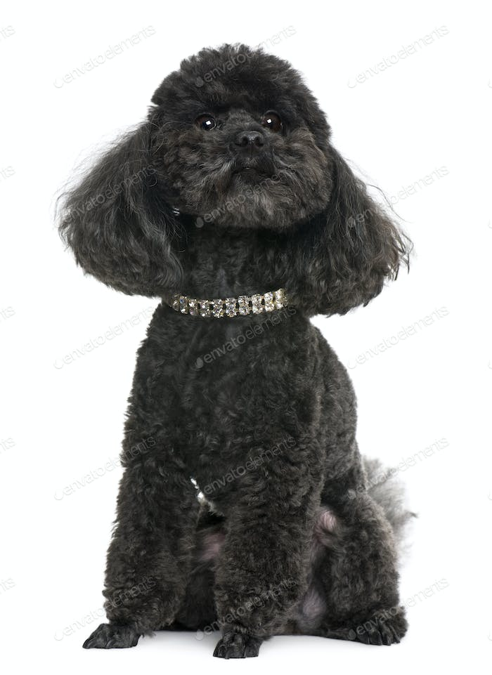 Poodle, 5 years old, with diamond collar, in front of white background