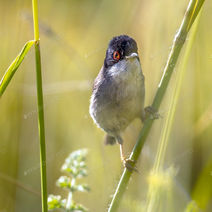 Sardinian warbler perched on grass stem