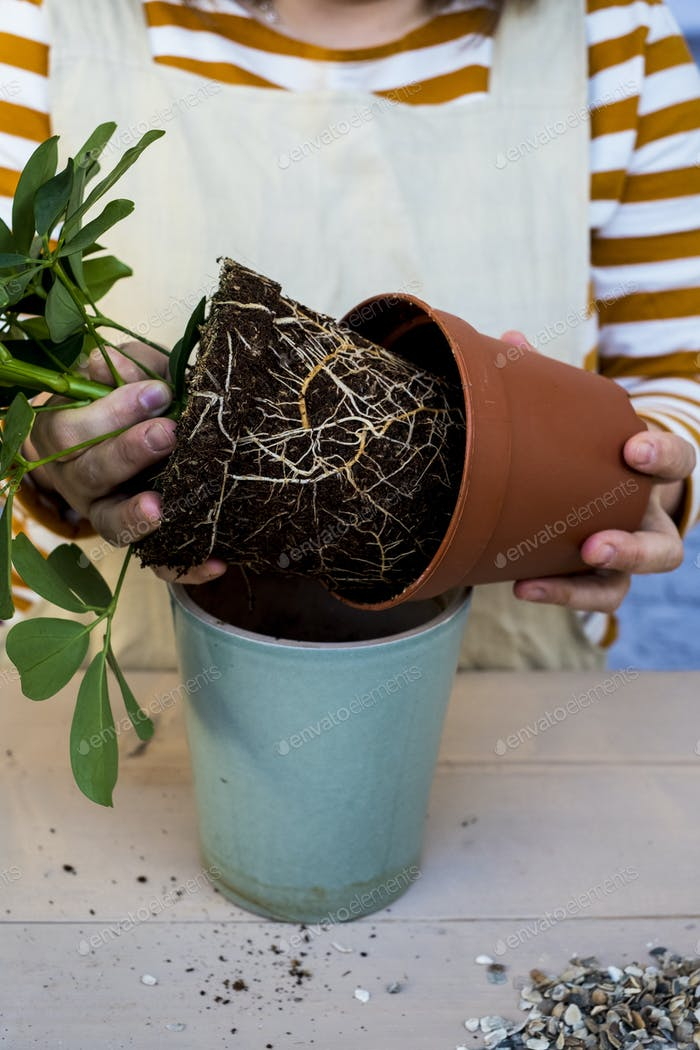 High angle close up of person re-potting plant into a blue terracotta pot.