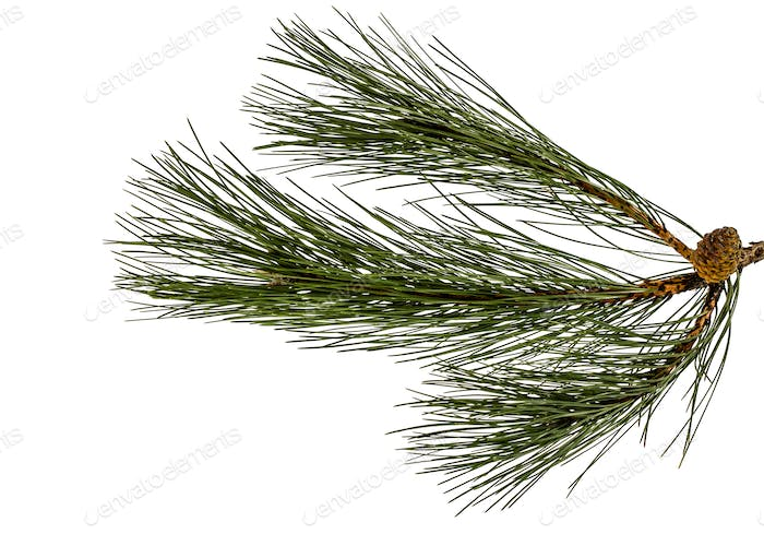 Beautiful green pine cones on a branch, isolated on a white back