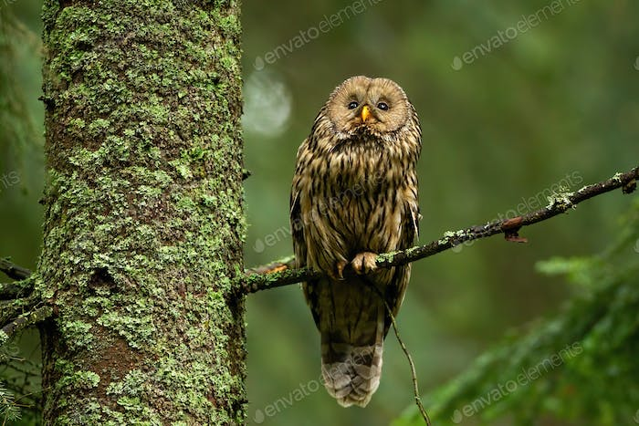 Wise tawny owl looking up in summer forest and sitting on bough