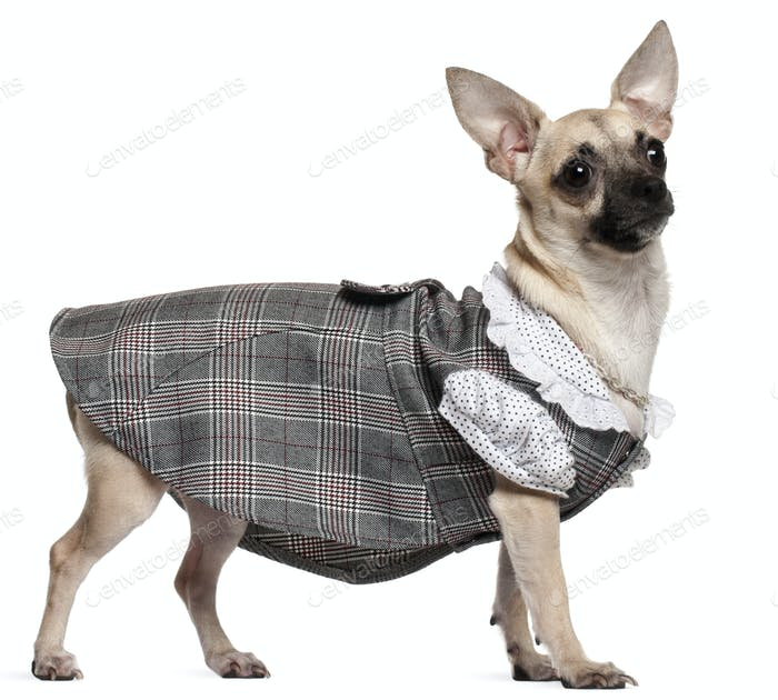 Chihuahua wearing plaid dress, 1 year old, standing in front of white background