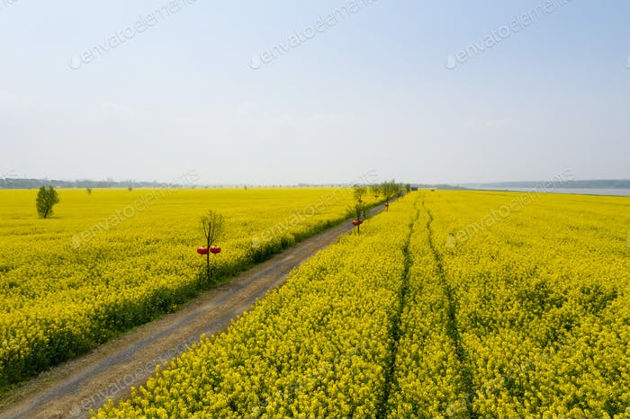 beautiful countryside landscape,golden rapeseed flowers in blossom