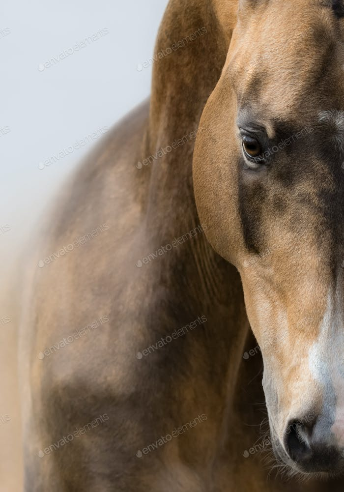 Close up portrait of Akhalteke golden buckskin horse.