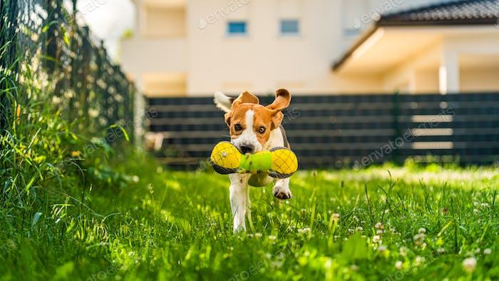Tricolor Beagle Hund holt ein gereiftes Spielzeug und läuft schnell in Richtung Kamera
