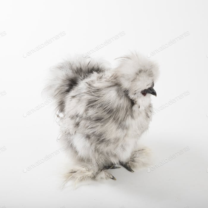 Fluffy Silkie Rooster