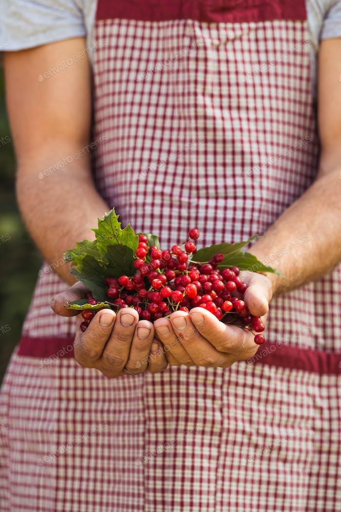 Farmer holds red viburnum berries in garden.