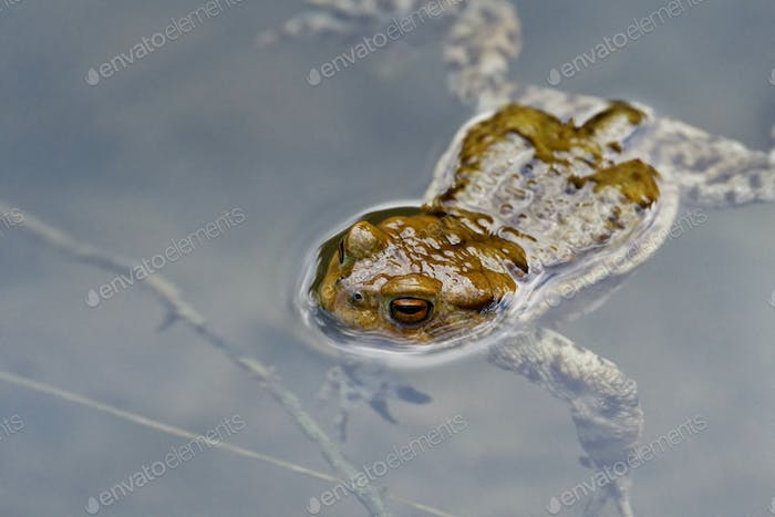 Common toad (Bufo bufo) swin in a pond