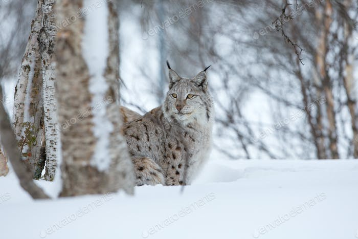 Lynx sneaks in the winter forest
