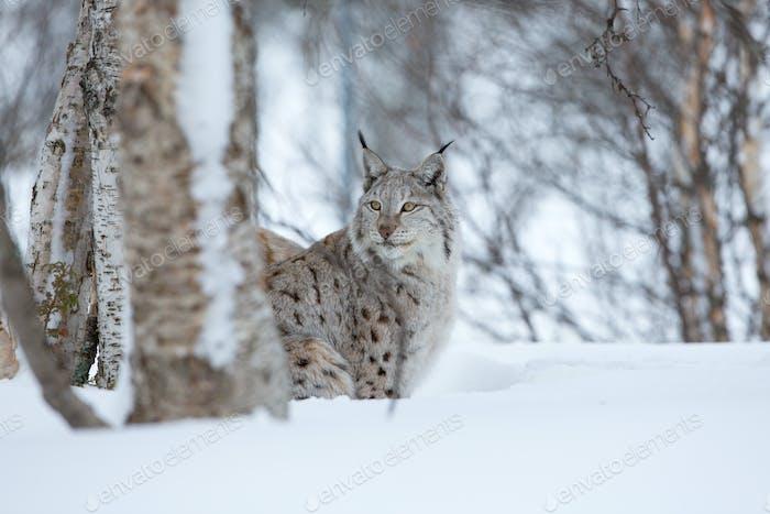 Luchs schleicht sich in den Winterwald