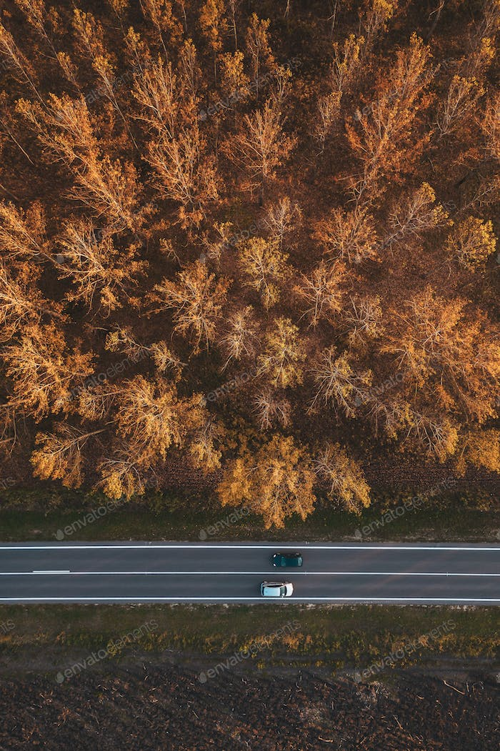 Traffic on the road through autumnal aspen tree forest