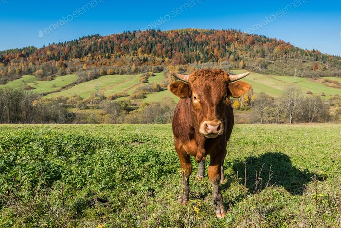 Cow grazing in green countryside