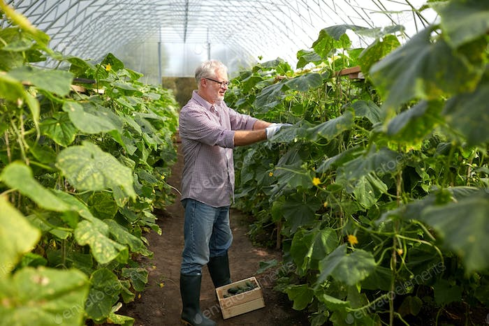 old man picking cucumbers up at farm greenhouse