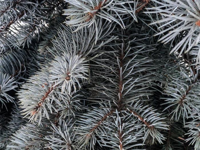 Pine branch tree under snow