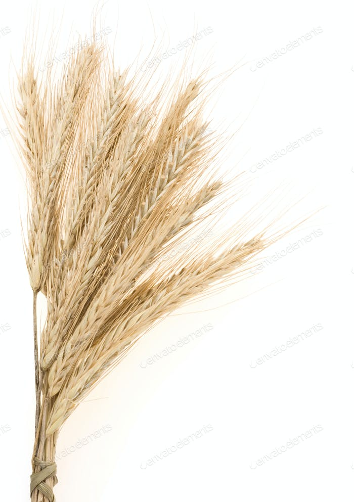 ear of rye bundle on white