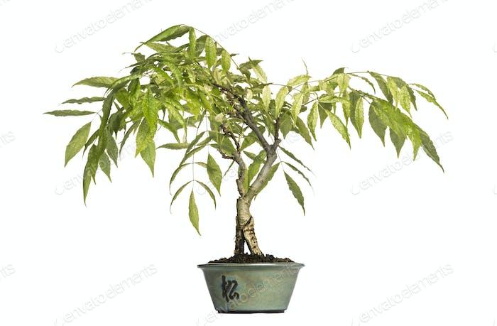 Wisteria bonsai tree, isolated on white