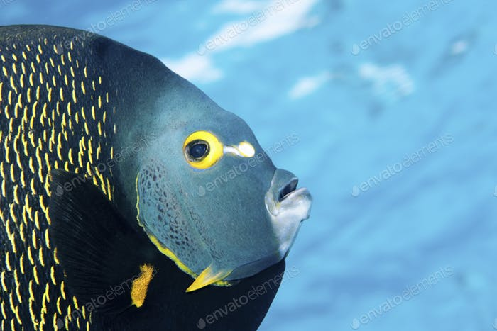 This colorful, tropical fish is found in the waters of the Caribbean, Bahamas, Florida, Gulf of