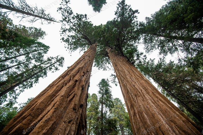 Top crowns of giant Sequoia trees taken from below in Sequoia National Park, California