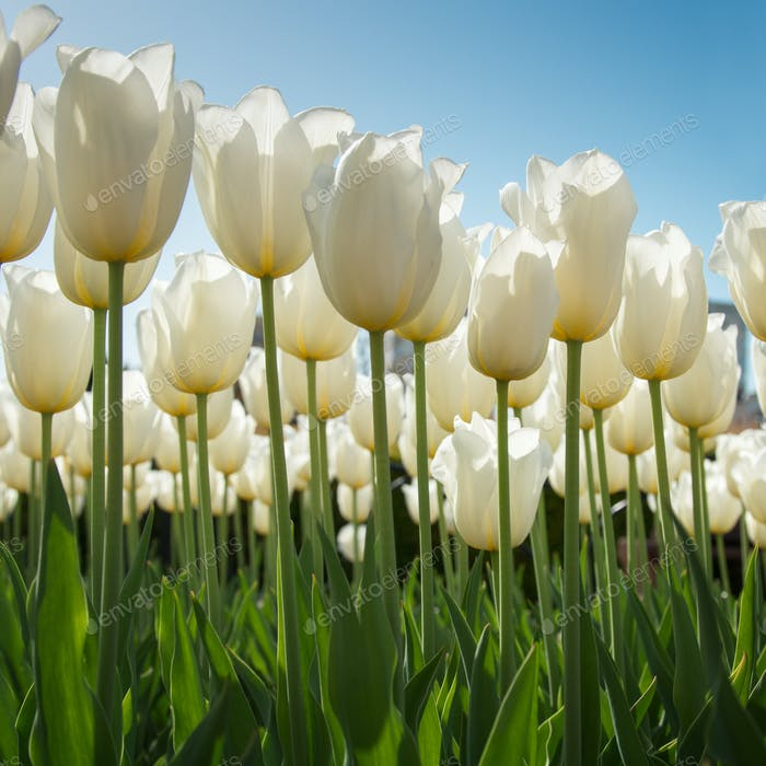 Lovely white tulips in green foliage