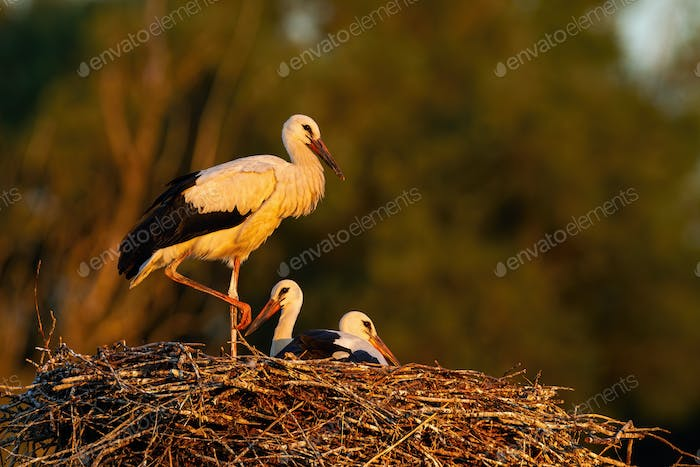 Young white stork standing and lying down on nest sunlit by evening rays