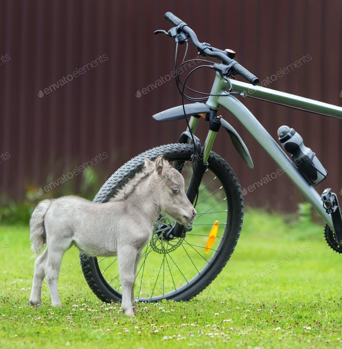 World's smallest horse 2017 year. Tiny foal measuring just 29 cm tall. American miniature horse.
