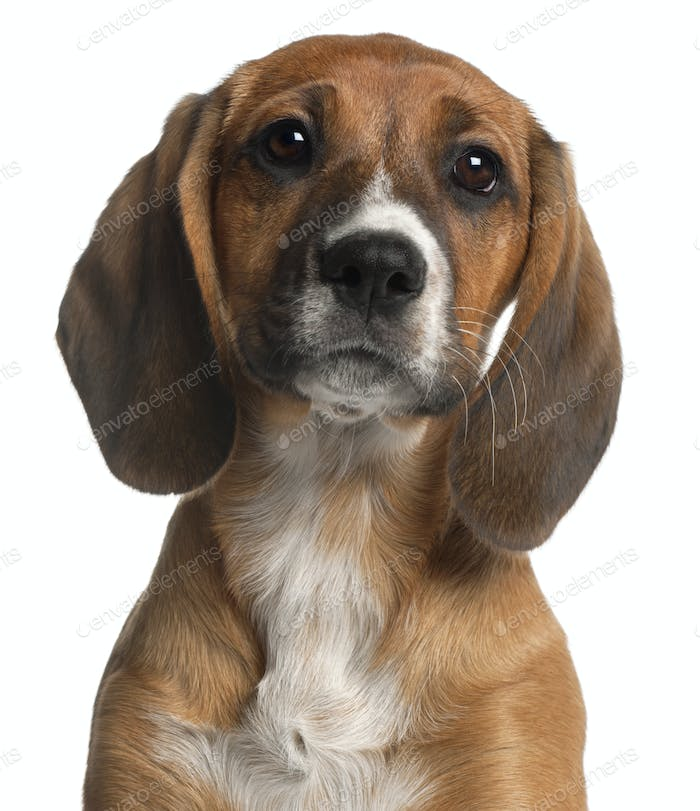 Close-up of Mixed-breed puppy, 12 weeks old, in front of white background