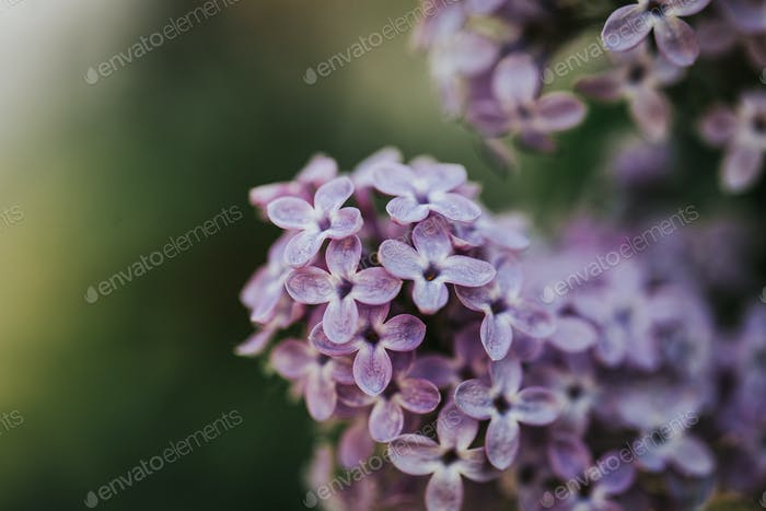 Beautiful lilac background, macro photography of flowers