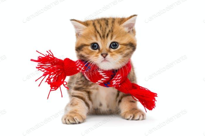 Kleines Kätzchen britischer Marmor in einem roten Schal
