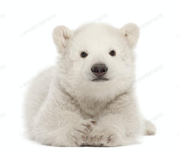 Polar bear cub, Ursus maritimus, 3 months old, lying against white background