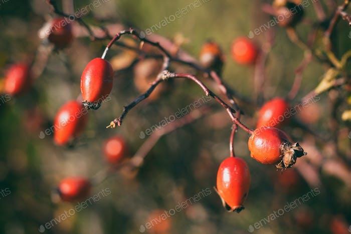Vintage photo of rosehip berries