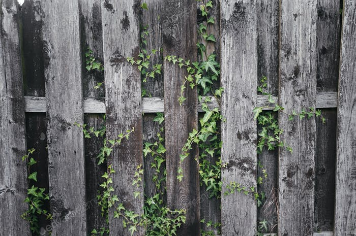 Ivy on wooden wall