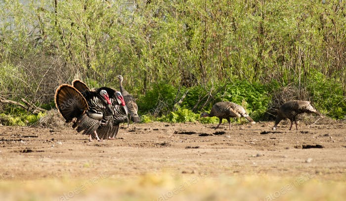 Male Turkey Courting Mating Tall Growth Big Wild Game Bird