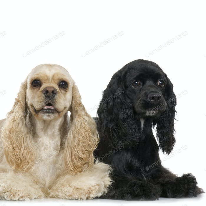 couple of Cocker Spaniel