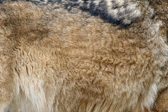 Closeup real wolf skin texture