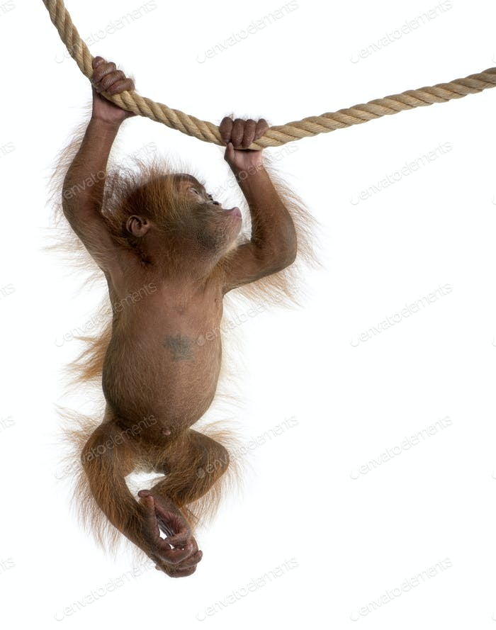 Baby Sumatran Orangutan, 4 months old, hanging from rope in front of white background